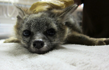 Gray fox suffering from rodenticide poisoning. (Courtesy of WildCare by Melanie Piazza)