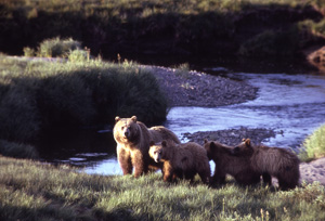 Grizzly bear family. (NPS)