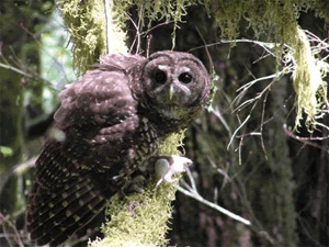 Northern spotted owl, with a freshly caught mouse. (FWS)