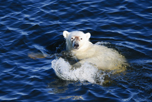 As the sea ice retreats polar bears have a harder time jumping from ice flow to ice flow, forcing them to swim enormous distances to find land. Beaufort Sea, Alaska. (c) Florian Schulz / visionsofthewild.com