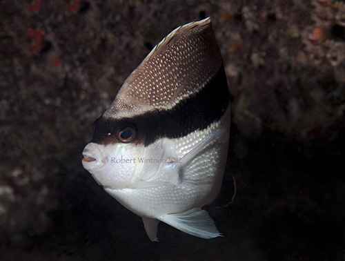 Bandit Angelfish (Robert Wintner)