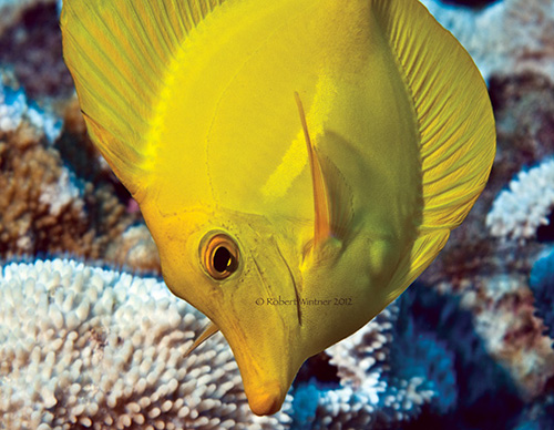 Yellow Tang (Robert Wintner)