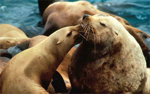 Steller sea lion. (NOAA)
