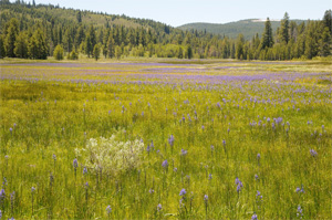 Camas lilies in Sagehen Meadow in Tahoe National Forest. (George Lamson)