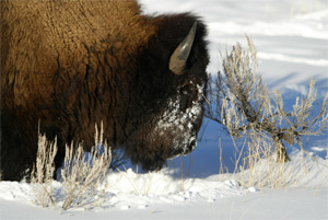 Bull bison in Yellowstone. (Jim Peaco / NPS)