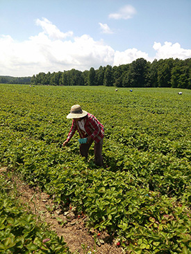 Farmworkers picking strawberries in Wayne County, NY. (Courtesy of Alina Diaz, vice-president of Alianza Nacional de Campes