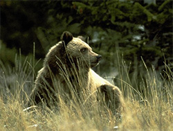 Grizzly bear. (USFWS)