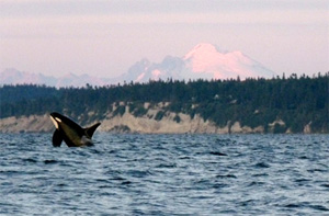 Orca L87 breaches at sunset with Whidbey Island and Mt. Baker in the background, Oct. 15, 2010. (Susan Berta / Orca Network)