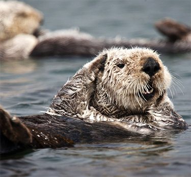 California Sea Otter (Enhydra lutris) resting in a colony of a dozen sea otters and wrapped in kelp. (Michael L. Baird)