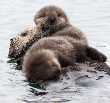 Mother sea otter with twin baby pups. (Michael L. Baird)