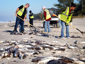 Sarasota County work crews remove hundreds of dead fish littering the public Blind Pass Beach on Manasota Key, Jan. 3, 2013. (Charlotte Sun-Herald photo by Steve Reilly)