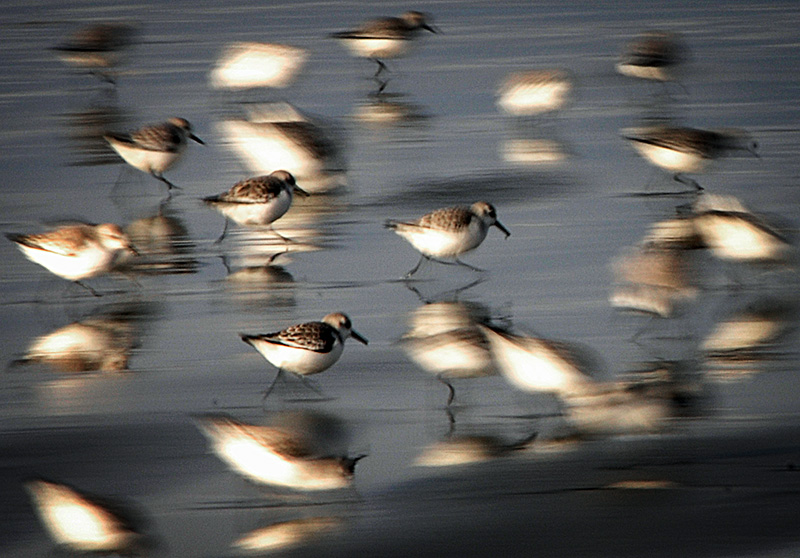 Shorebirds at Grays Harbor, Washington.