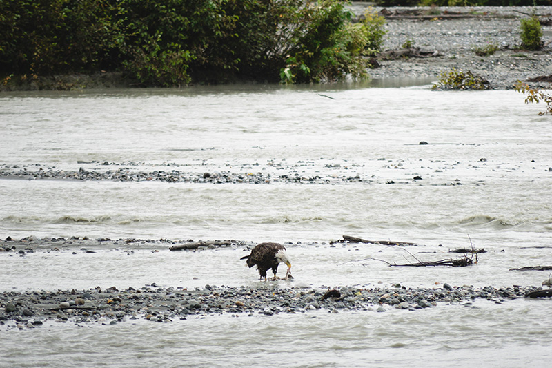 A bald eagle at Chilkat River.