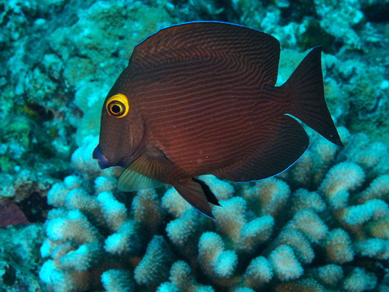 Kole, a type of surgeonfish native to Hawai'i, is a prized traditional food source and suffers widespread aquarium collection in the state.