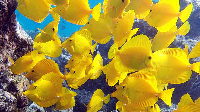 The aquarium trade has extracted hundreds of thousands of yellow tang from Hawai'i's reefs since the Umberger decision.