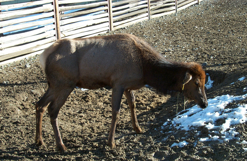 An elk infected with chronic wasting disease. Always fatal, chronic wasting disease assaults the central nervous systems of elk, deer, and moose, resulting in brain lesions, behavioral changes, a loss of body condition, and ultimately death.