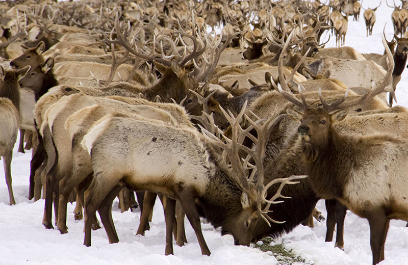 Elk crowd together along artificial feedlines in the National Elk Refuge.