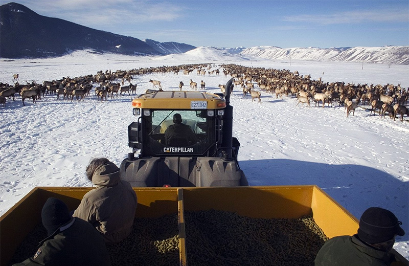 Elk in the National Elk Refuge crowd together for artificial feeding by tractor feeder.