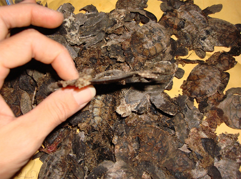 Hawksbill hatchlings flattened along south Maui roadway.