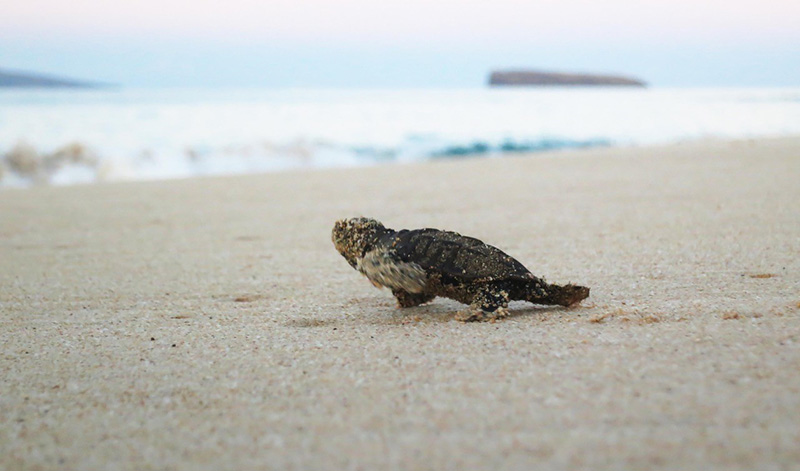 Hawksbill hatchling scrambling to ocean, south Maui.