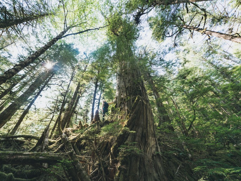 A person standing at the base of a towering old-growth tree on Prince of Wales Island reaches up the trunk.