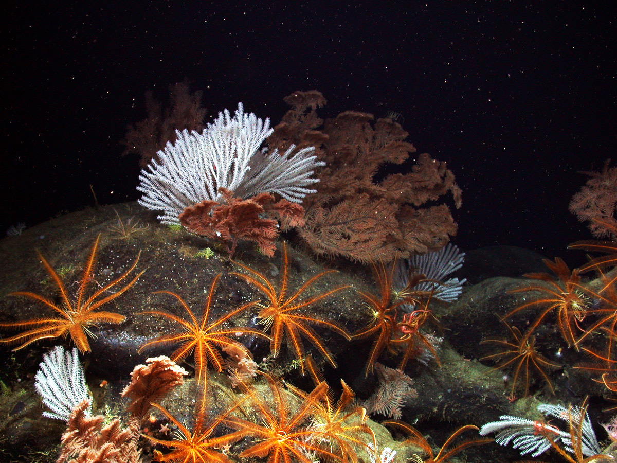 Black coral, primnoid coral, and feather stars flourish 8,757 ft deep on the pristine Davidson Seamount off the coast of California