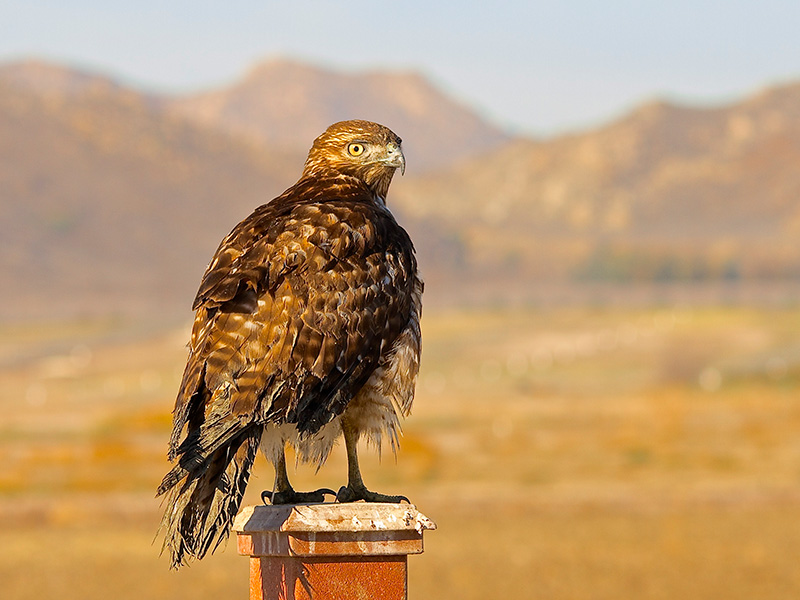 A red-tailed hawk in the San Jacinto Wildlife Area.