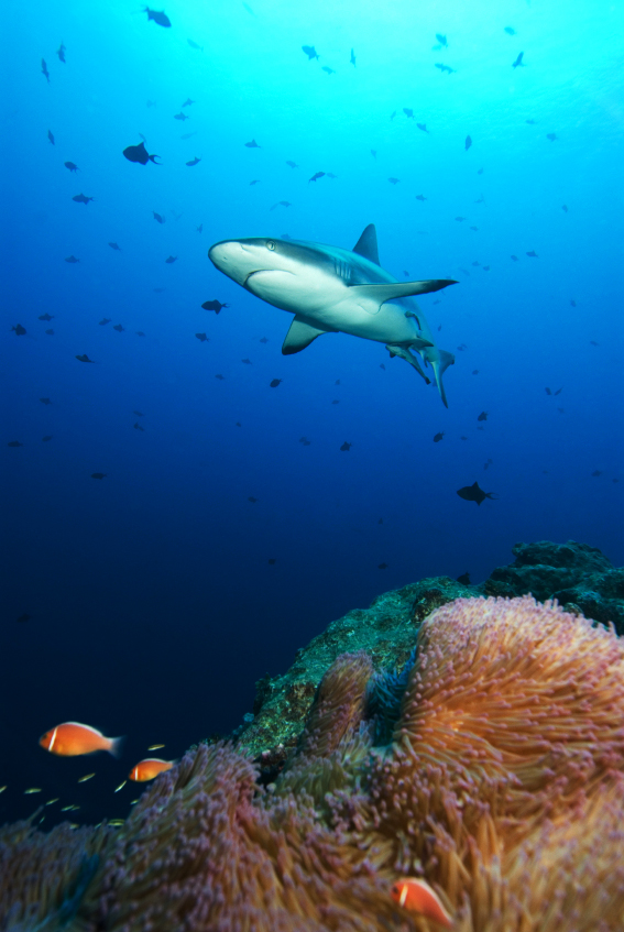 A reef shark in Palau