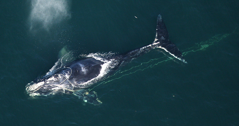 A team of state and federal biologists assisted in disentangling this North Atlantic right whale in 2010, off the coast of Daytona, FL.