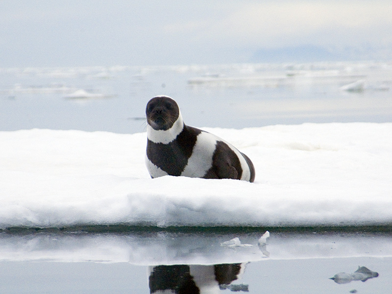 A rare adult male ribbon seal.