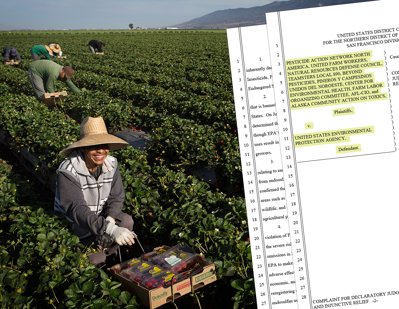 A farmworker harvests strawberries in Salinas, Calif.