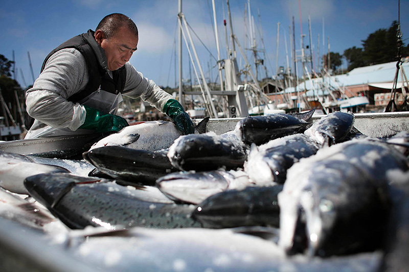 Jose Chi unloads Chinook salmon from fishing boats in Ft. Bragg, California. The 2013 summer run of salmon has been very strong due to good ocean conditions and great river situation for juvenile fish.