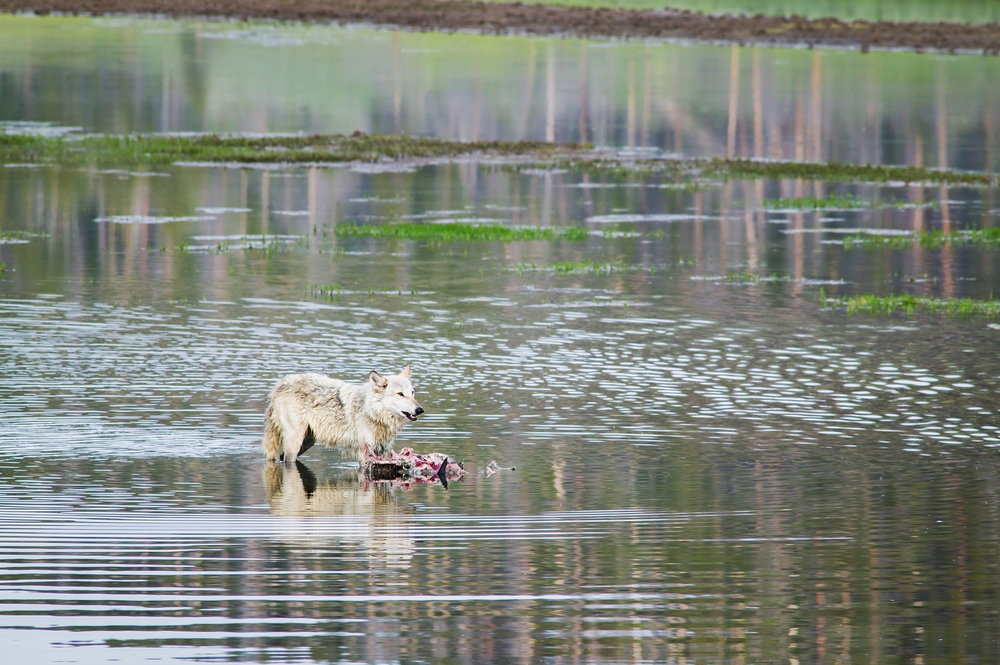 A wolf standing in a river next to its prey in Yellowstone National Park.