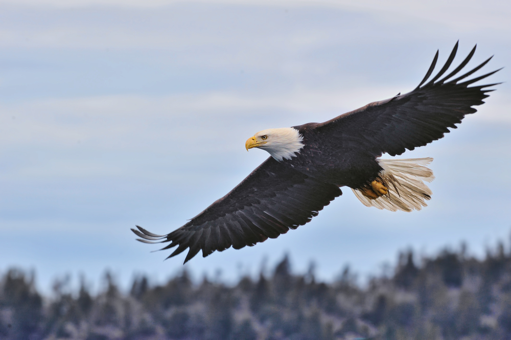 An American bald eagle in flight on the coast of Alaska.