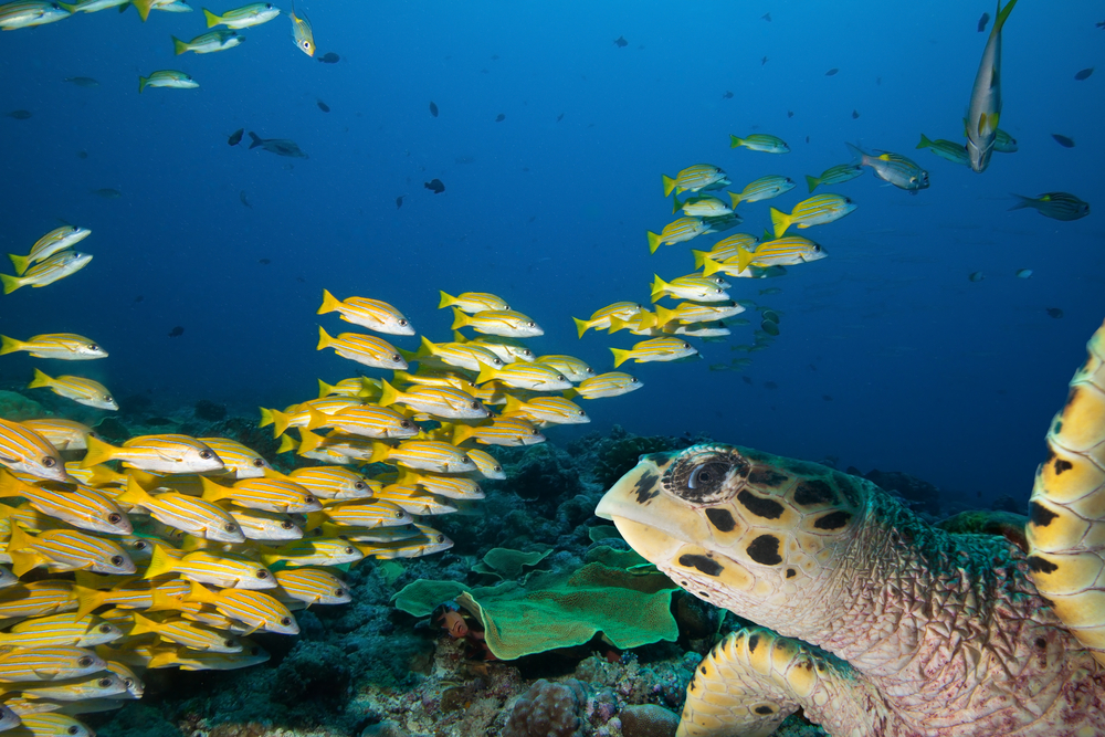 A sea turtle and school of fish in Palau's diverse coastal waters.