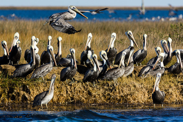 Brown pelicans living in an uninhabited portion of Smith Island, MD, located in the Chesapeake Bay.
