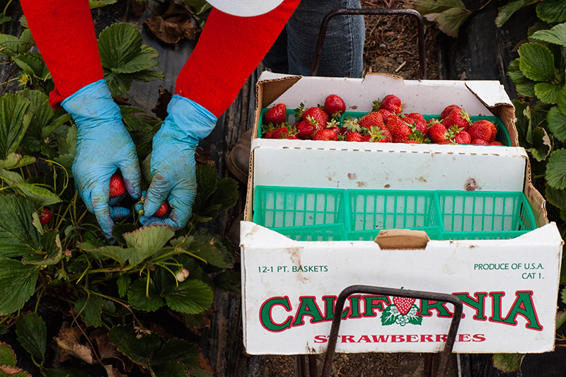 Strawberries are packed by farmworkers in a California field.