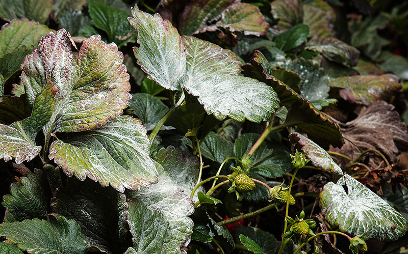 Residue coats a strawberry plant.