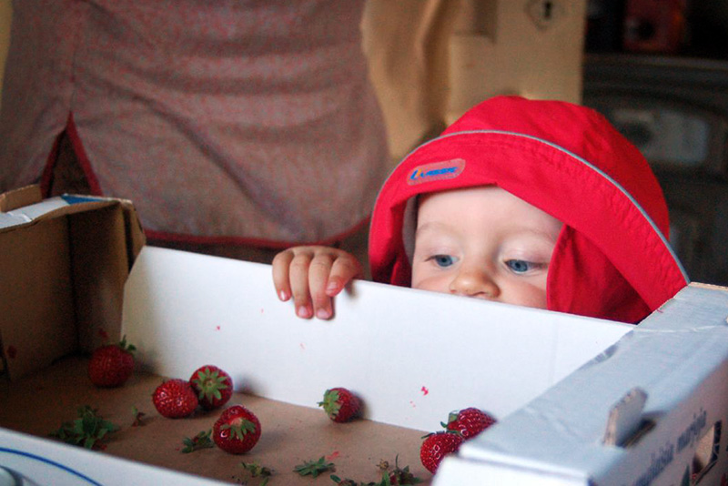 Child watches the strawberries.
