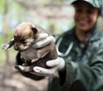 Meet Trumpet, the adorable Mexican gray wolf pup that is one of the last of her kind. Rebecca Bose holds Trumpet in 2016, when the pup is only a week old.