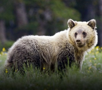 Juvenile grizzly bear in Yellowstone National Park. Grizzlies imperiled by Trump administration's ESA rollback..