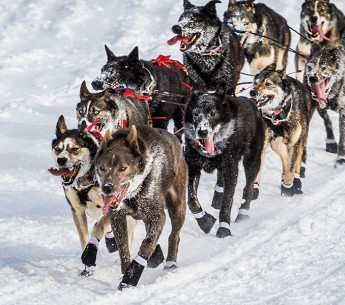 Iditarod Trail Sled Dog Race, Fairbanks Alaska