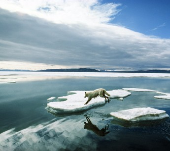 An alpha male Arctic wolf bounds across the ice floes.