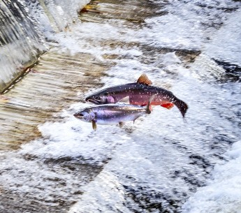 Chinook Coho Salmon