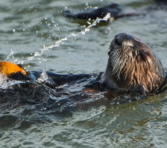 A sea otter eats in the waters of Monterey Bay.