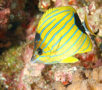 Blue-lined butterflyfish