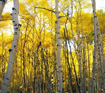 Aspens in Gunnison National Forest.