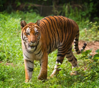 A royal Bengal tiger photographed in Sundarban National Park, India.