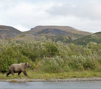 Brown bear walking the shore of a river in the Bristol Bay, AK region.
