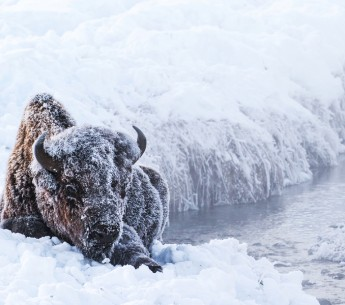 A bison enduring the cold winter of Yellowstone.